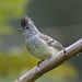Yellow-bellied Elaenia D4A8727.jpg by BobLewis
