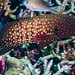 Bluespotted Grouper - Cephalopholis cyanostigma