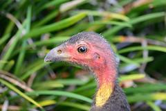 叢塚雉 Australian Brush-Turkey