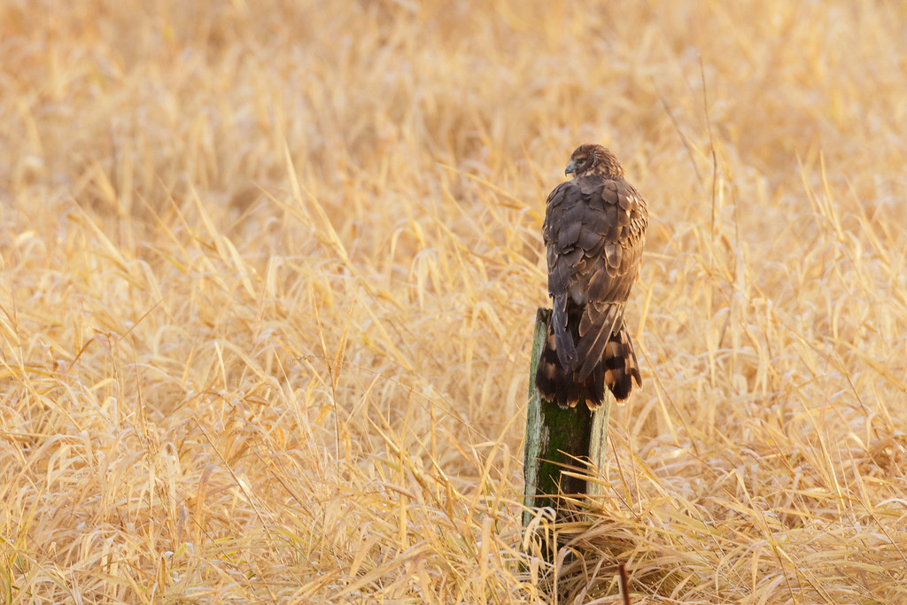 A northern harrier perches above the marsh at Rest Lake on a sunny winter morning