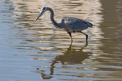 Great Blue Heron Fishing-16