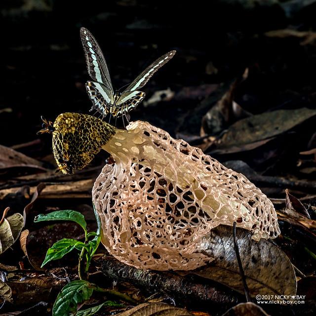 Bridal veil stinkhorn (Phallus sp.) - ESC_0238