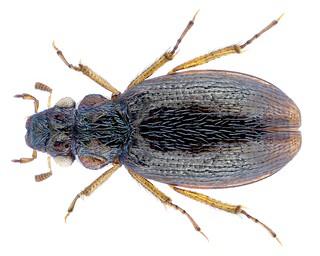 Ochthebius flumineus Orchymont, 1937