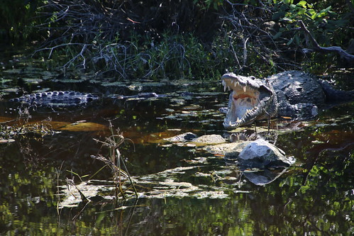 Crocodiles Near Punta Sur Eco Park Nature Area  - Cozumel, Mexico Excursion Pictures - Amazing Eco Park Expedition: Beach Break & Lunch (Empress of the Seas - October 14, 2017)
