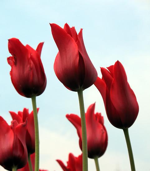 Tulips6.jpg-original