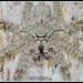 Lichen Huntsman (Pandercetes gracilis) up close by caitlinhenderson