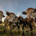 Nosey Cattle by tommerchant1