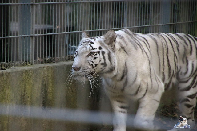 Eisbär Fiete im Sosto Zoo 01.10.2017 127