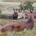 Red Deer Stag 10 Pt Cervus elaphus 010-1