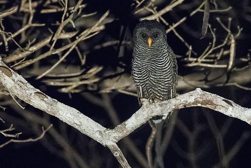 Pantanal: Black-banded Owl