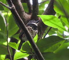 Sooty-capped Puffbird (Nystactes noanamae)