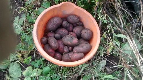 rooster potatoes Oct 17