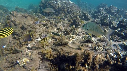 Surgeonfish, Pencil, Juvenile