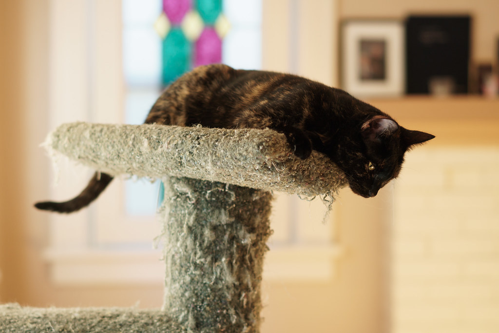Our tortoiseshell cat Trixie looks down from the top of the cat tree at our cat Boo (not pictured)