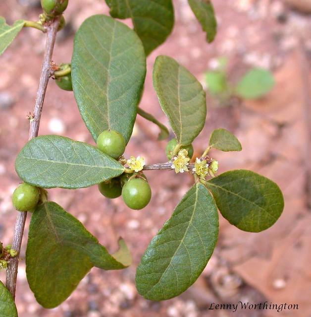 Colubrina asiatica L. Brongn.Rhamnaceae, Nikon E995