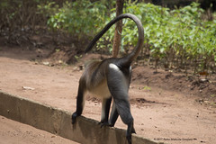 Mona monkey walks quadrupedally with a question mark tail