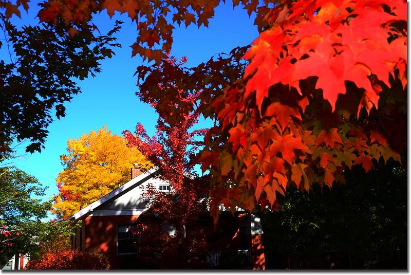 2017 Maple in Fall, Boulder, Colorado  (40)