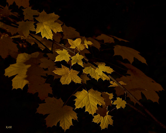 Sycamore leaves -04