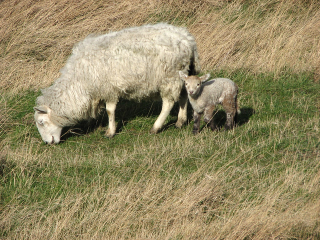 Lamb near North Fambridge