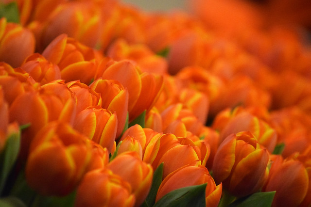narančasti tulipani / orange tulips