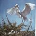 Small photo of American egret photo