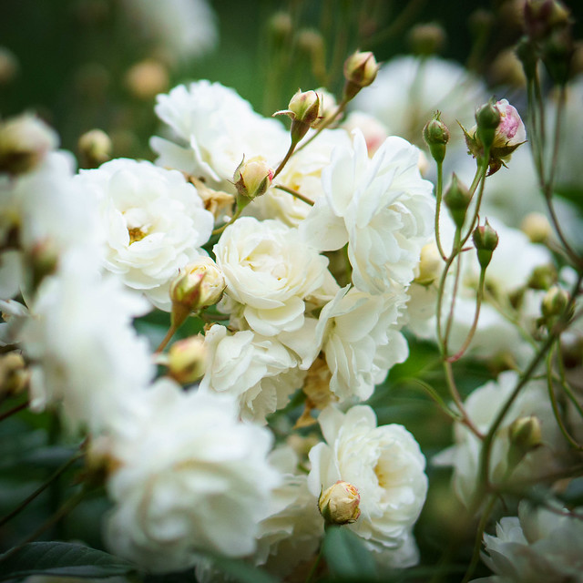 PopCorn Roses