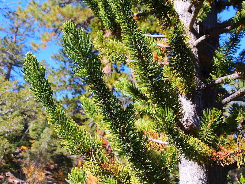 IMG_8053 Great Basin Bristlecone Pine