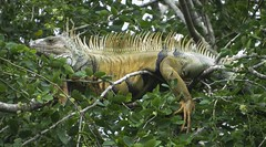 Common Green Iguana (Iguana iguana)