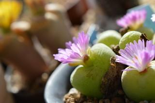 DSC_0934 Conophytum pillansii  コノフィツム ピランシー 翠光玉