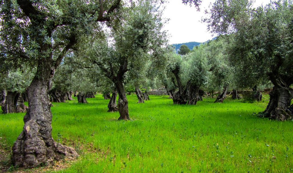 Uråldrig olivlund