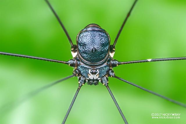 Harvestman (Opiliones) - DSC_9788