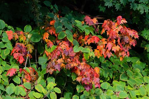 Autumnal maple leaves, Bridgnorth Bylet