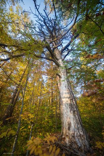 suomi sky syksy finland forest autumn taivas tree trees kuusankoski kouvola nature north europe scandinavia luonto light landscape photography puu colorful valo värikäs yellow dof dead