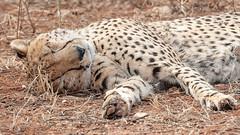 Male cheetah in full flat cat mode