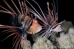 White-Lined Lionfish getting ready to spawn. Shaab Mahmoud. Night dive.02.