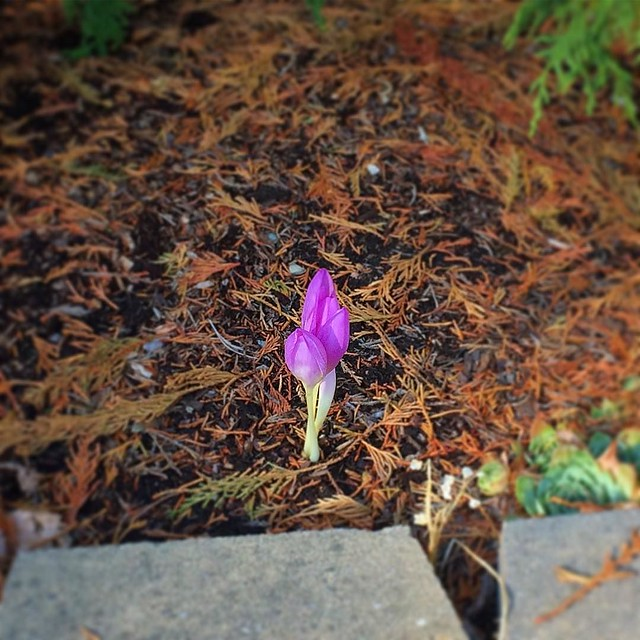A crocus blooming in September? Weird.