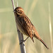 reed bunting 47 2017