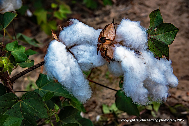 8 Bolls of Cotton