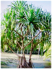 Pandanus tectorius (Tahitian Screwpine, Thatch/Textile Screwpine, Tourist Pineapple, Hala, Screw Pine, Mengkuang Laut/Duri in Malay) with prop roots to firmly anchor the tree to the ground, 12 Oct 2017