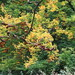 UK - Hertfordshire - Loudwater - Autumn colour in Chess Valley
