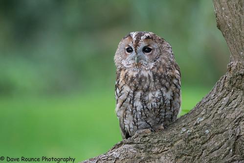 Tawny owl.
