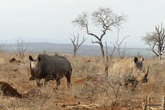 Walking with White Rhino, Mkhaya (8)