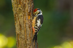 Middle spotted woodpecker  2