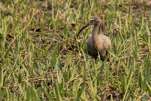 Pantanal: Plumbeous Ibis 2