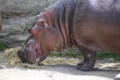 Hippopotamus Toronto zoo