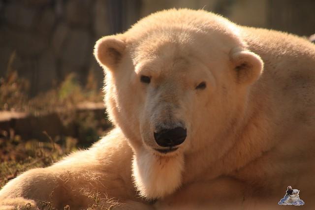 Eisbär Fiete im Sosto Zoo 01.10.2017 010