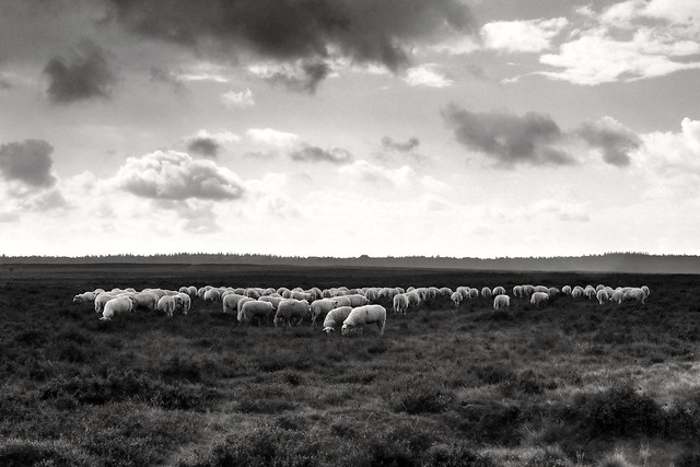 A flock of sheep on the heath