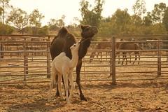 170923 Camel Farm
