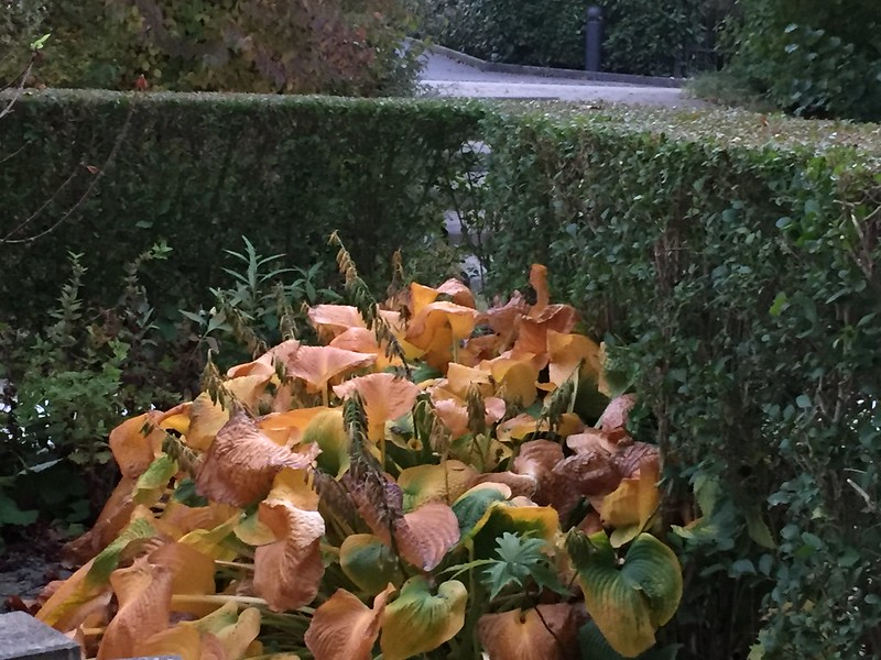Autumn Hosta