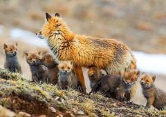 Baby foxes and mom.. https://t.co/CGvA5ttbs7 #istanbul #food #lezzet #mutfak #nefis #kebap #Tarif #yemektarifleri #foodporn #recipe #cooki…